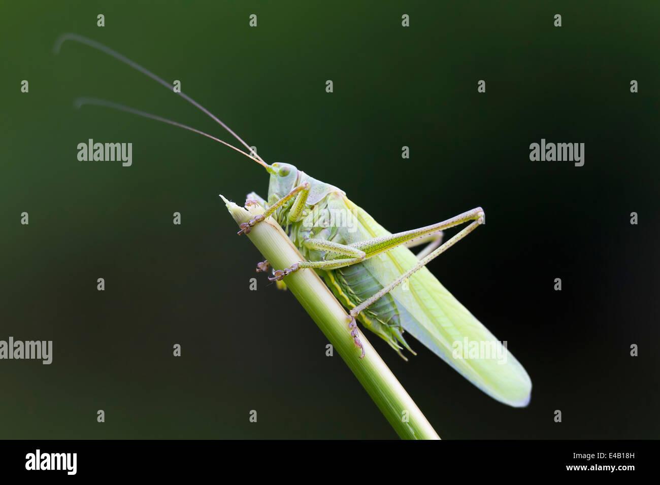 Seitenansicht des eine große Green Bush-Cricket im Schilf. Stockbild