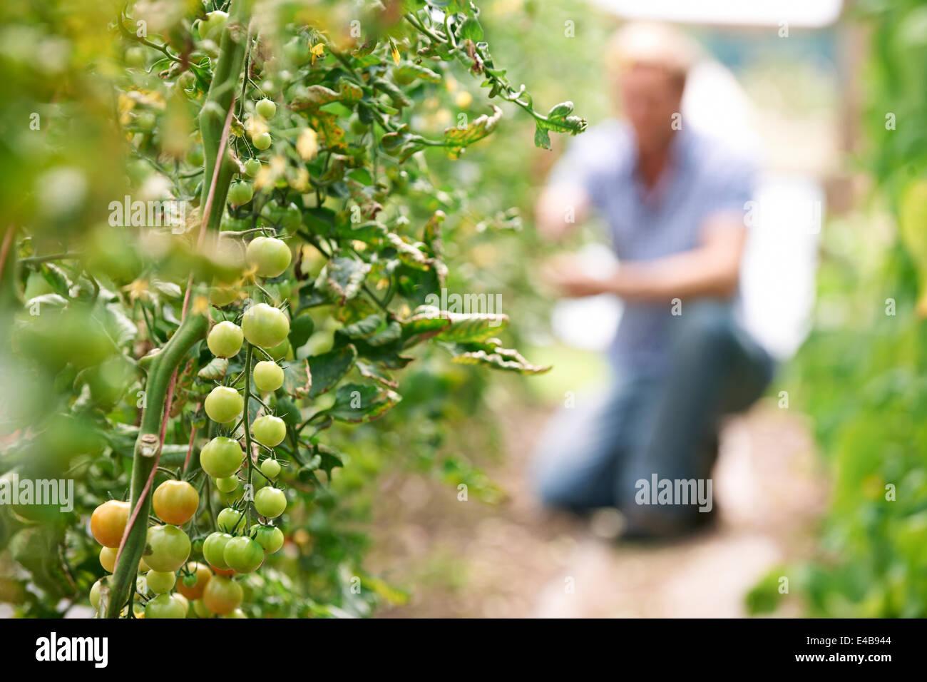 Landwirt Check-Tomatenpflanzen im Gewächshaus Stockfoto