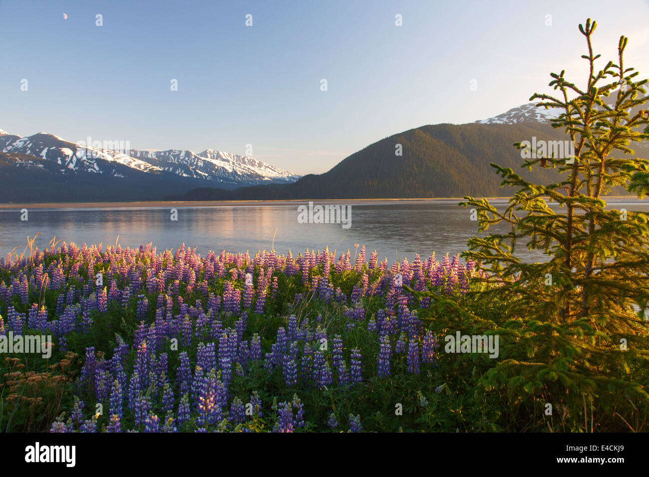 Ein Feld von Lupine entlang Turnagain Arm, Chugach National Forest, Alaska. Stockfoto