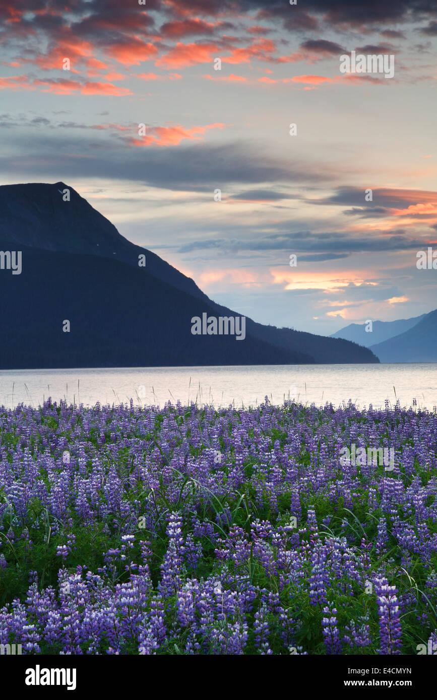 Bereich der Lupine Wildblumen entlang Turnagain Arm, Chugach National Forest, Alaska. Stockfoto