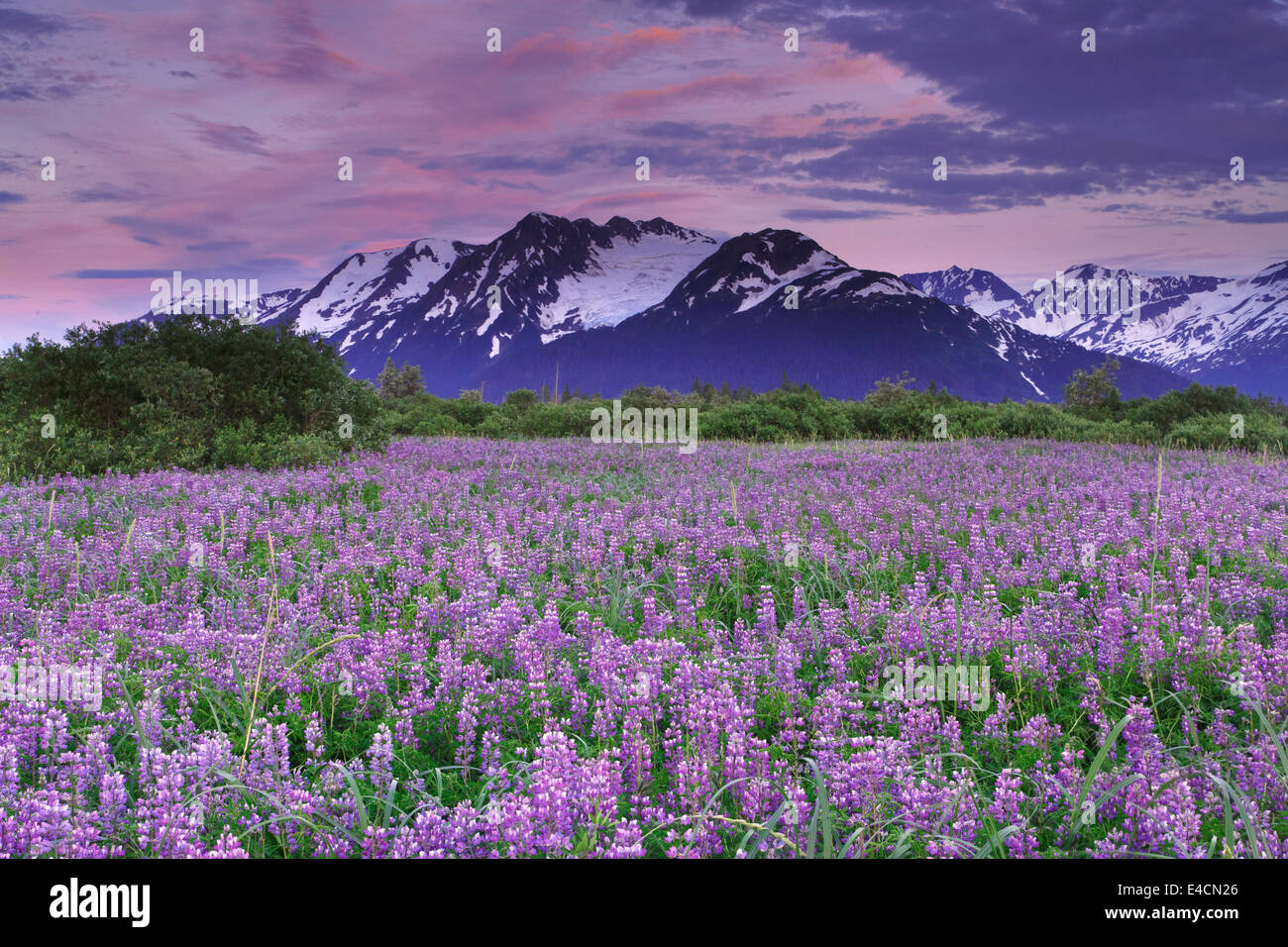 Bereich der Lupine Wildblumen entlang Turnagain Arm, Chugach National Forest, Alaska. Stockbild