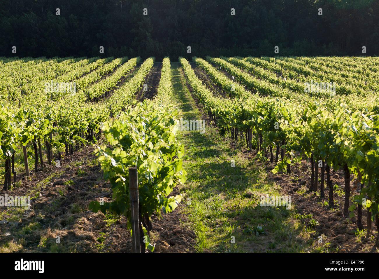 Reihen von Weinreben Perspektive. Stockbild