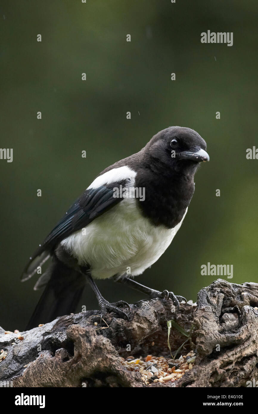 Elster (häufig), Pica Pica, UK Stockbild