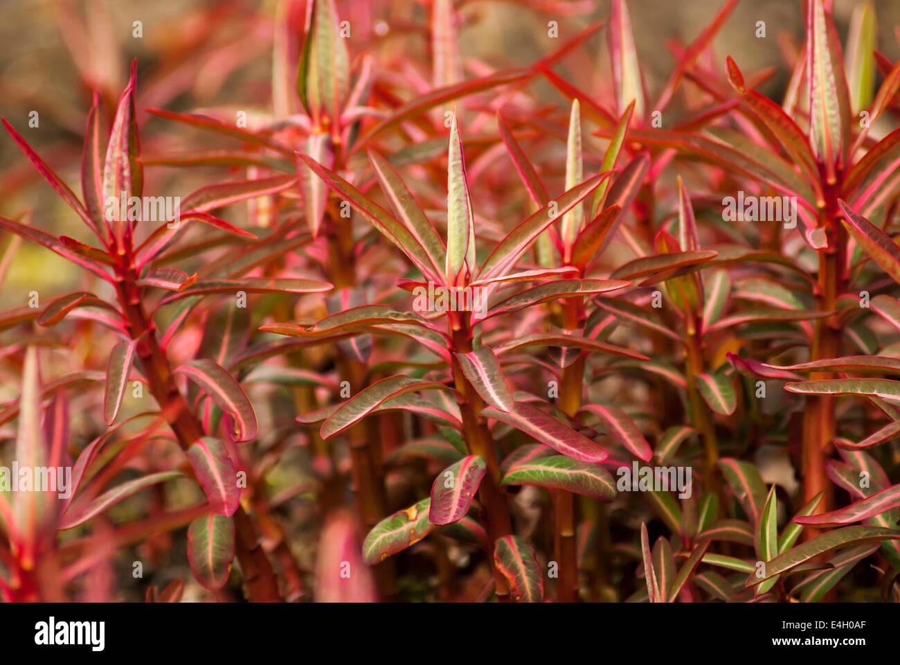 Euphorbia stockfotos euphorbia bilder alamy - Wolfsmilch zimmerpflanze ...