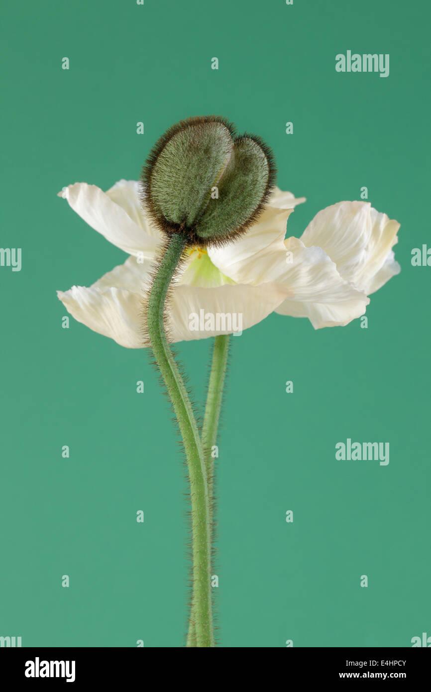 Weißen Mohn in voller Blüte und Poppy Knospe auf grünem Hintergrund Stockbild