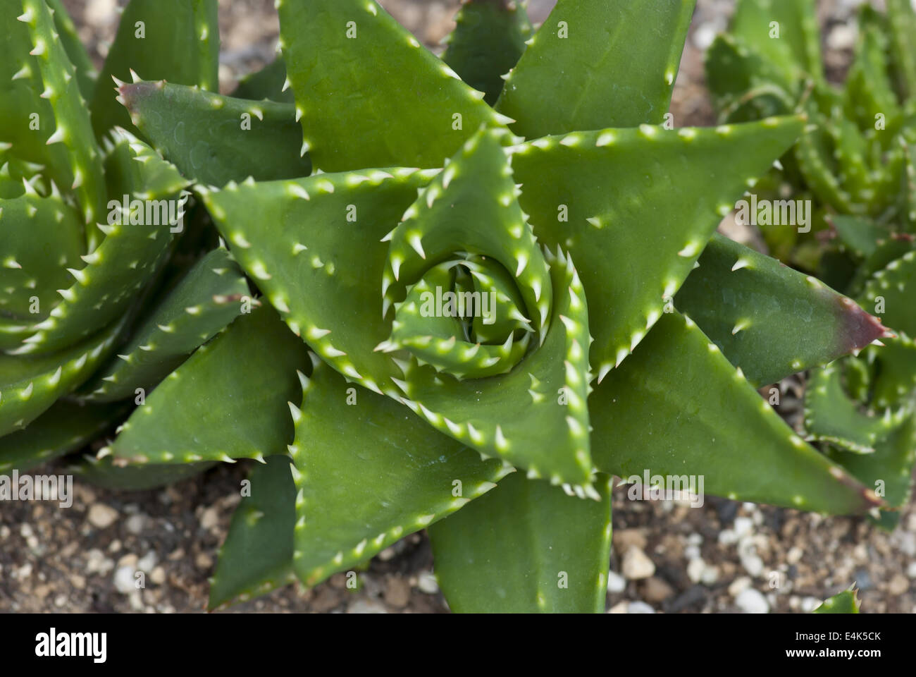 aloe vera plant in flower stockfotos aloe vera plant in flower bilder alamy. Black Bedroom Furniture Sets. Home Design Ideas