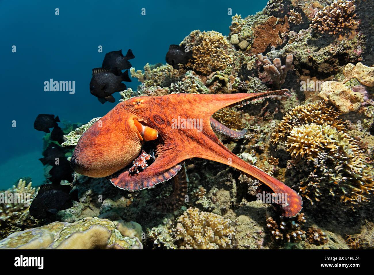 Gemeinsame Krake (Octopus Vulgaris), an einem Korallenriff, Rotes Meer, Ägypten Stockbild