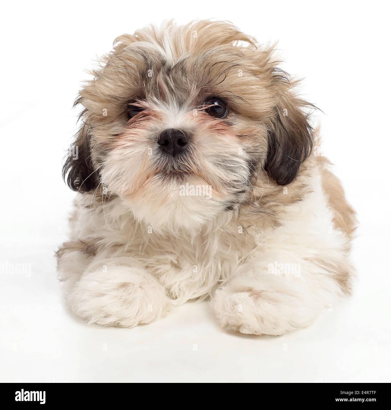 Shih Tzu Welpen 8 Wochen Altes Baby Stockfoto Bild 71811167 Alamy
