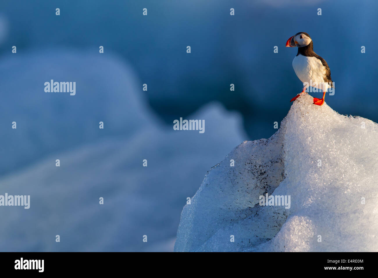 Papagei Taucher, Papageitaucher, Fratercula Arctica, Papageitaucher, Papageitaucher, Fratercula Arctica, Papageientaucher Stockbild