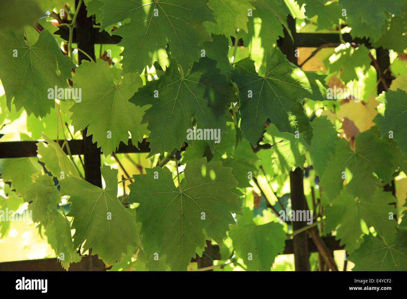 Growing On Lattice Stockfotos & Growing On Lattice Bilder - Alamy