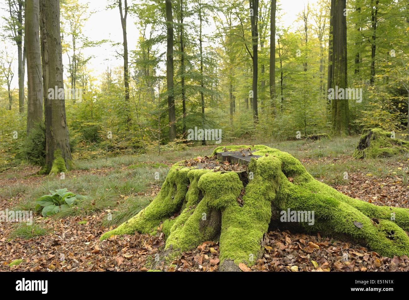 Baumstamm in Buchenwald, Deutschland Stockbild