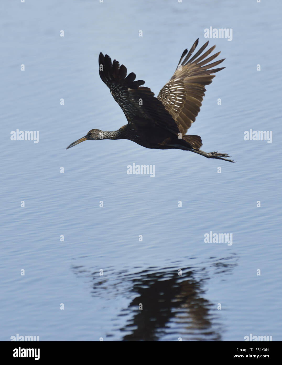 Limpkin Vogel Stockbild