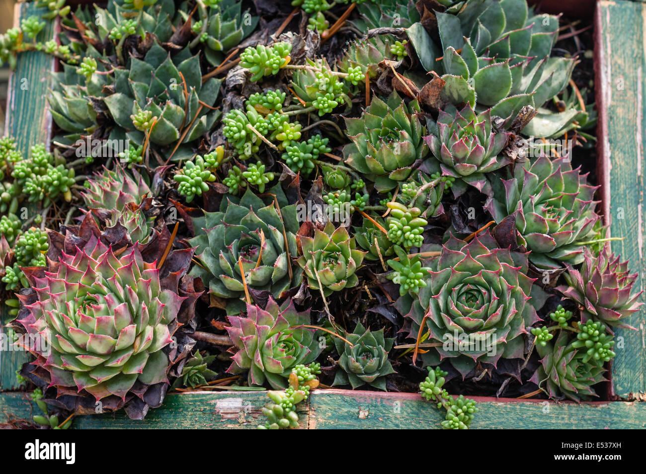 Sedum Und Sempervivum Pflanzen Fur Dachbegrunung Projekte Verwenden