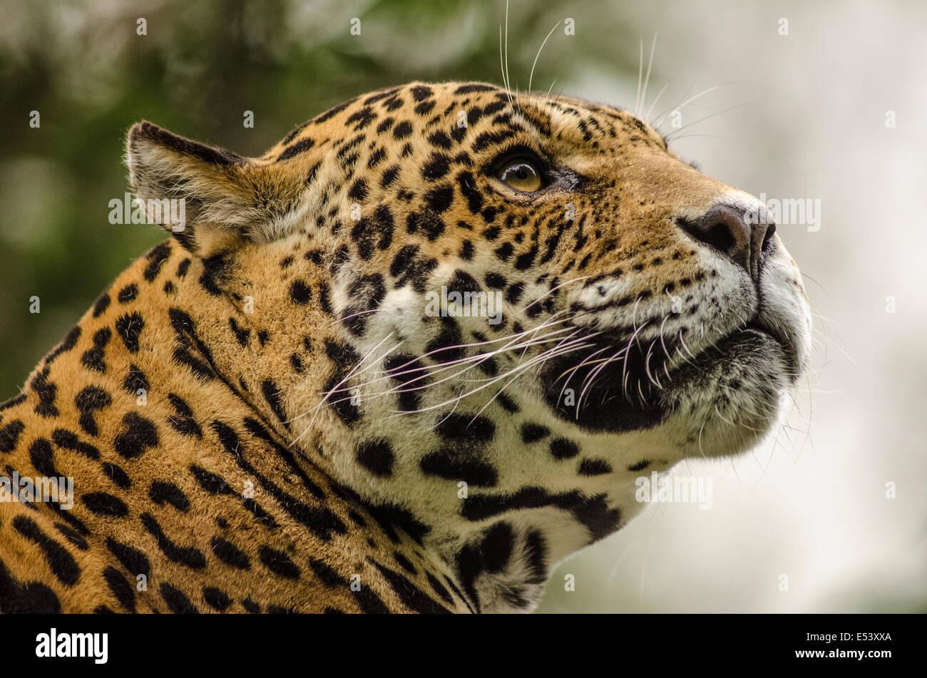 Jaguar Stockbild