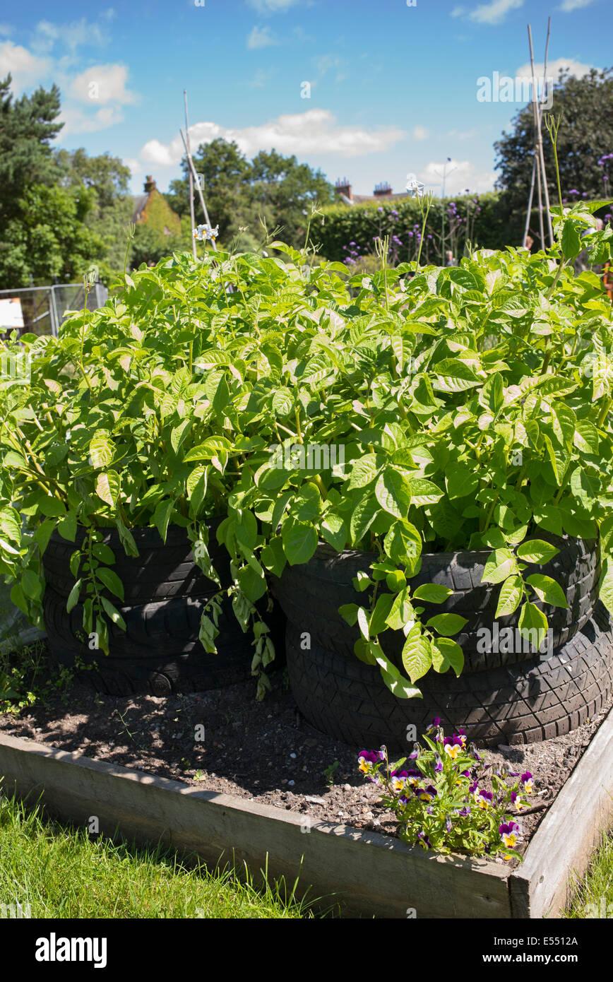 Solanum Tuberosum Anbau Von Kartoffeln In Alten Autoreifen In Einem