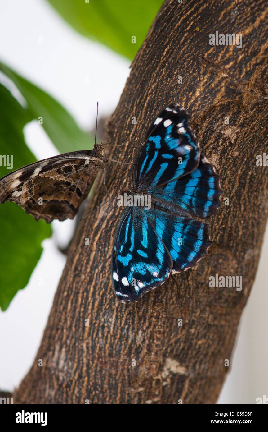 North West London, Golders Hill Park, butterfly House, Insekt Insekten mexikanischen Bluewing Blue Wing Myscelia Stockbild