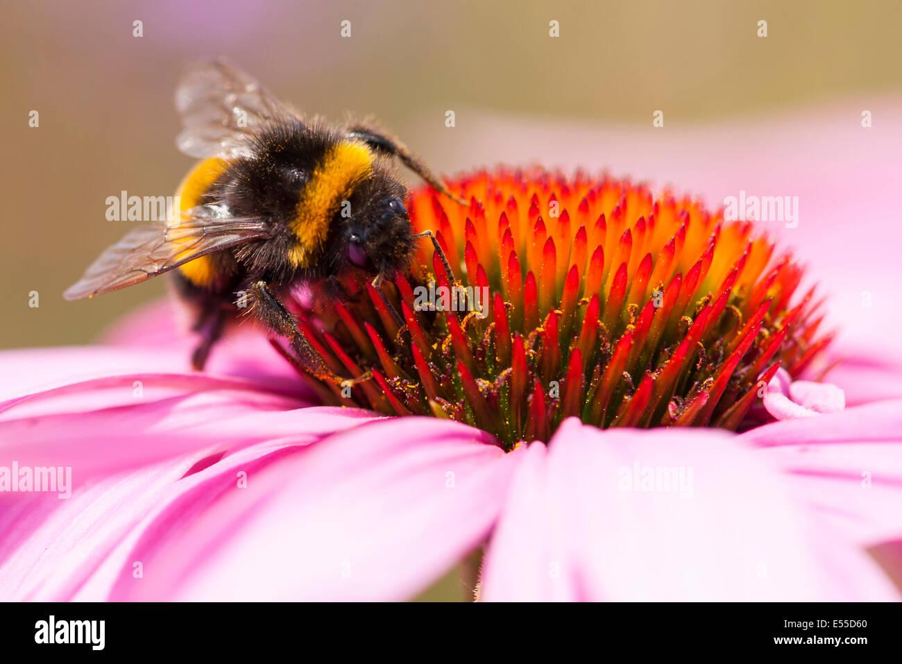 North West London, Golders Hill Park, Bumblebee Bumble Bee, Bombus Apoidae Insekt Insekten rot rosa orange Blume Stockbild