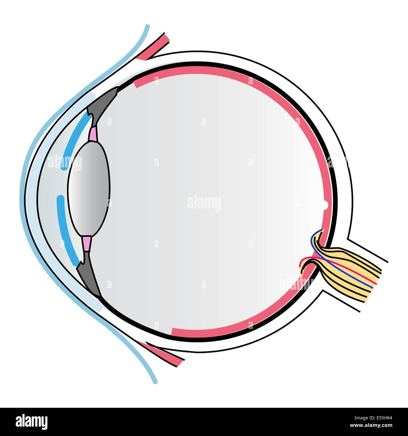 Eye Lens Diagram Stockfotos & Eye Lens Diagram Bilder - Alamy