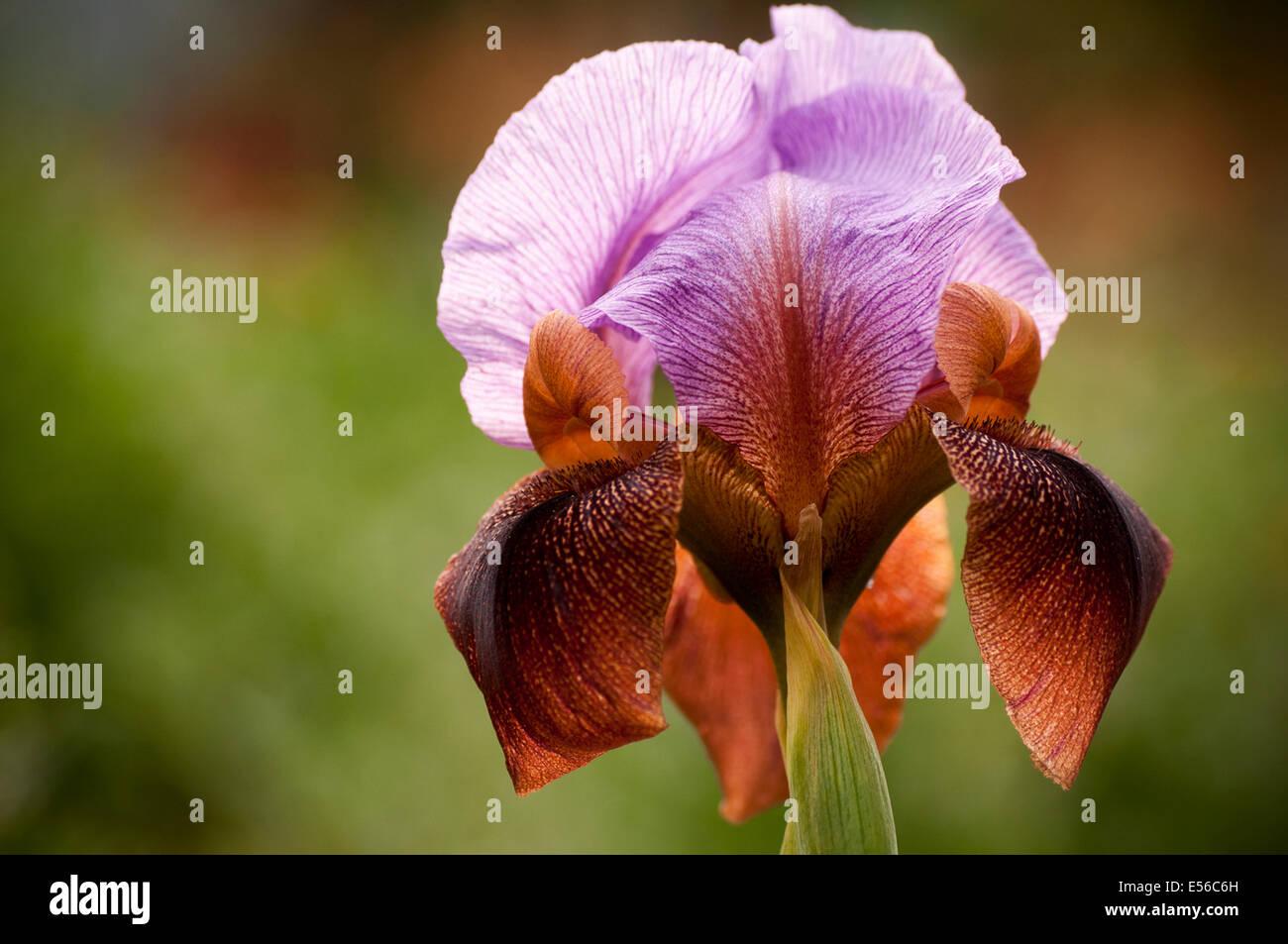 Eine königliche Iris