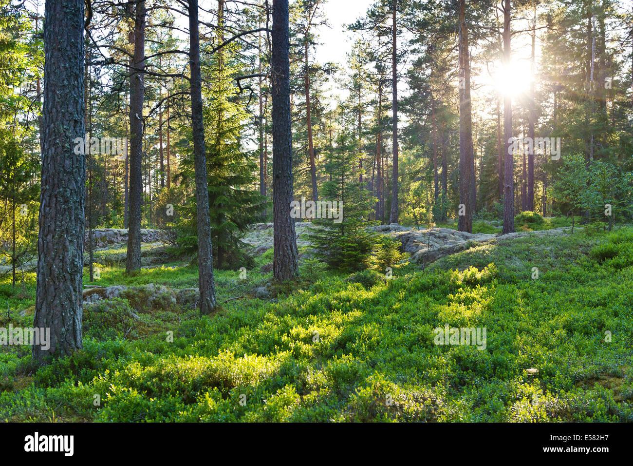 Pinienwald, tiefstehende Sonne, Rumskulla, Smaland, Schweden Stockbild
