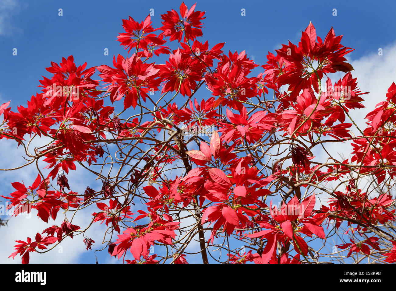 poinsettia tree stockfotos poinsettia tree bilder alamy. Black Bedroom Furniture Sets. Home Design Ideas