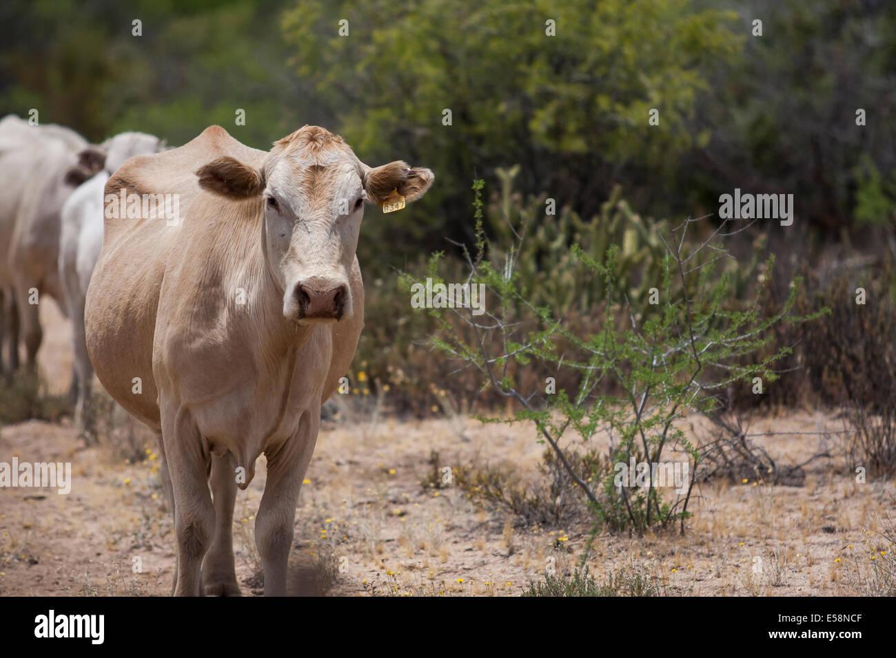 Roaming Rinder Stockbild