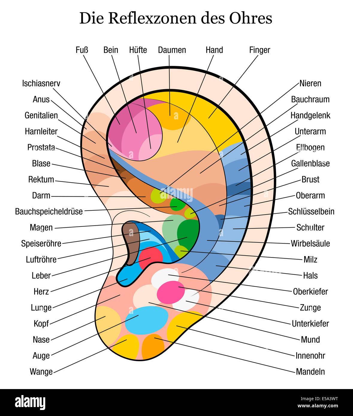 Ohr-Reflexzonen-Diagramm mit genauer Beschreibung der entsprechenden ...