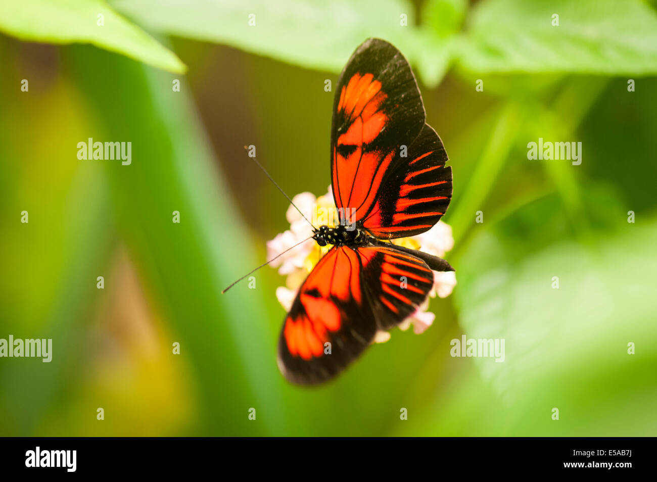 North West London, Golders Hill Park, butterfly House, Insekt Insekten, Postbote gemeinsame Heliconius Melpomene Stockbild