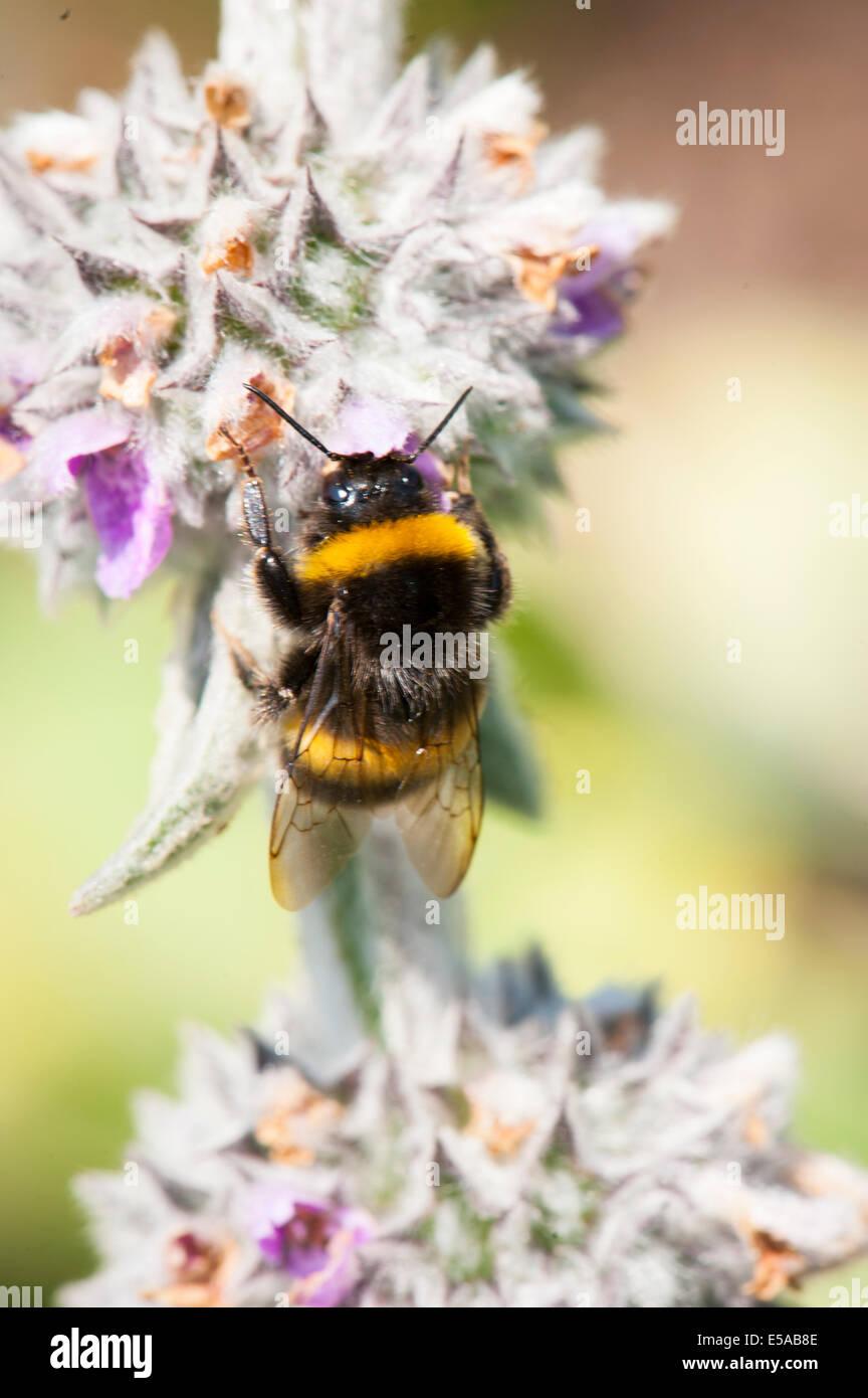 Golders Hill Park, North West London, Bombus Apoidae Insekt Insekten weiße rote Blume Blumen, Bumblebee Bumble Stockbild