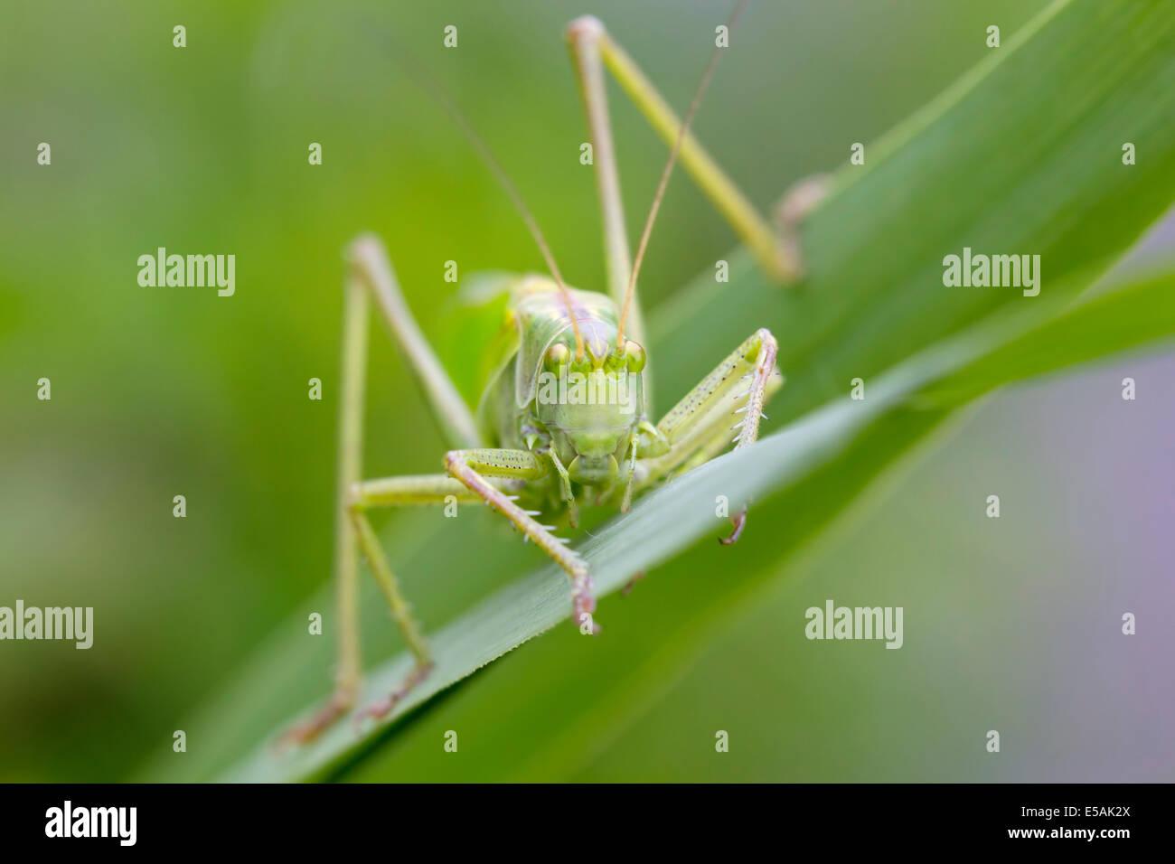Vorderansicht des eine große Green Bush-Cricket im Schilf. Stockbild