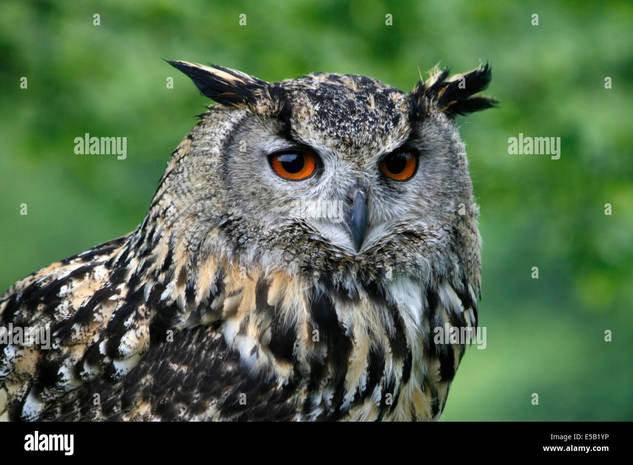 Europäische Uhu (Bubo Bubo), aufgenommen in Wales, UK. Stockbild