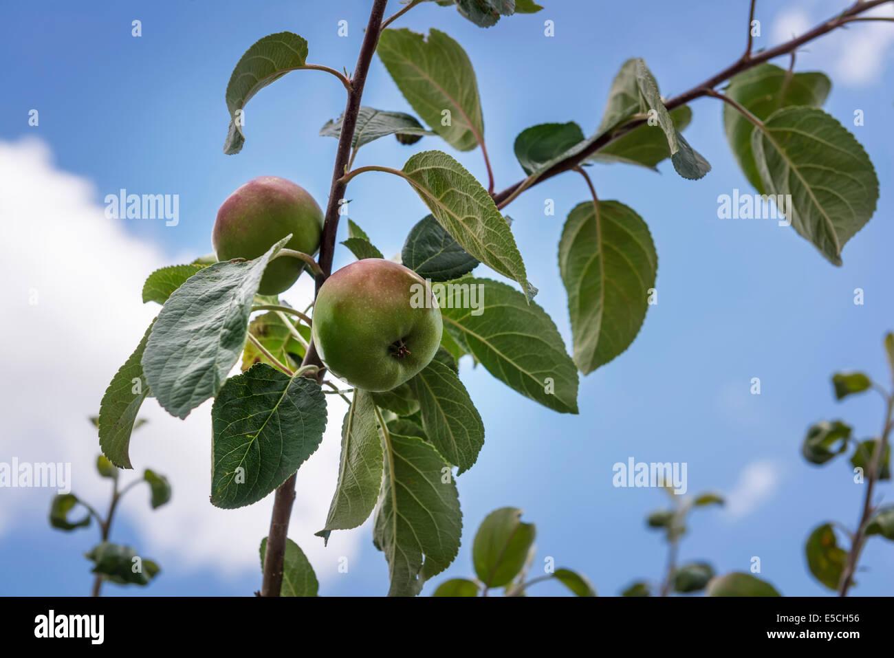 Nahaufnahme der Äpfel auf einem Ast über blauen Himmel. Ontario, Kanada. Stockbild