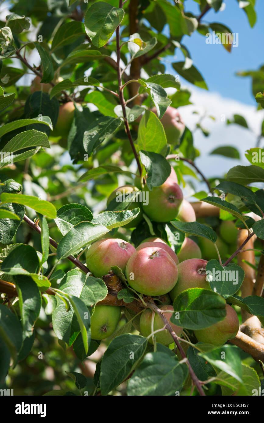 Nahaufnahme von Äpfeln auf Apple Ast auf einem Bauernhof. Ontario, Kanada. Stockbild