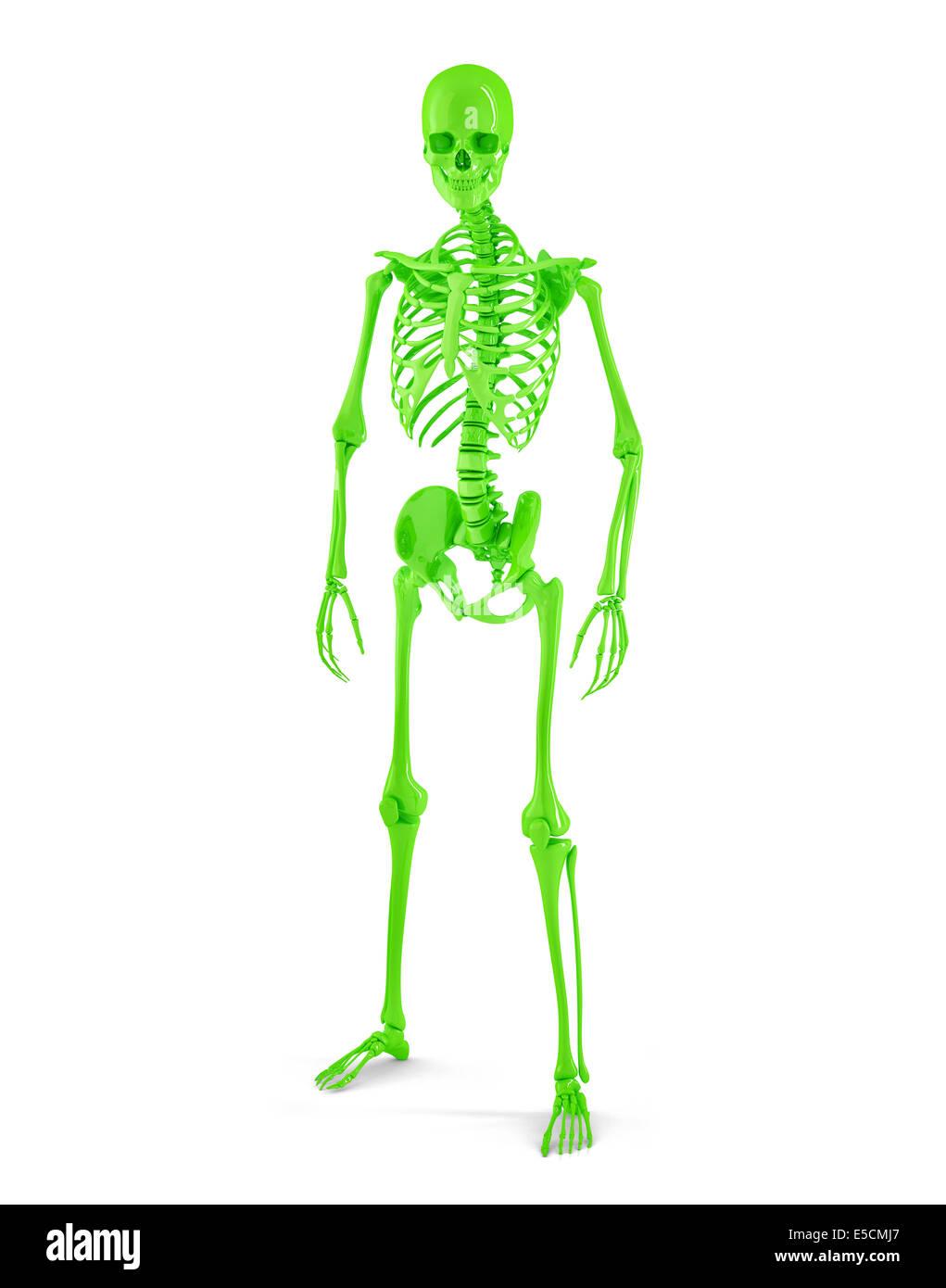 Großartig Gekennzeichnet Skelettsystem Zeitgenössisch - Anatomie Von ...