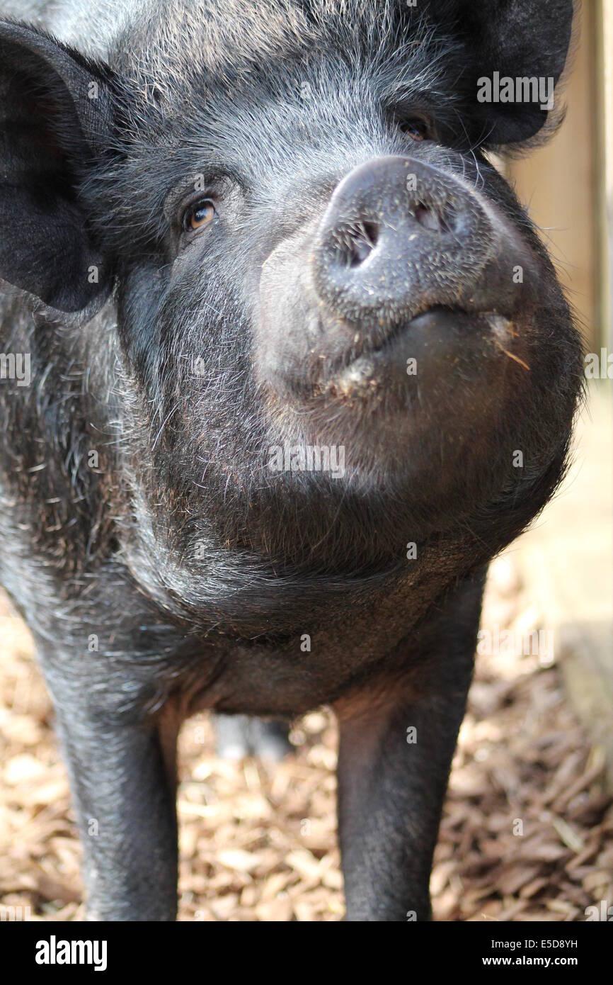 Glückliches Schwein. Hof Tierfotografie. Stockbild