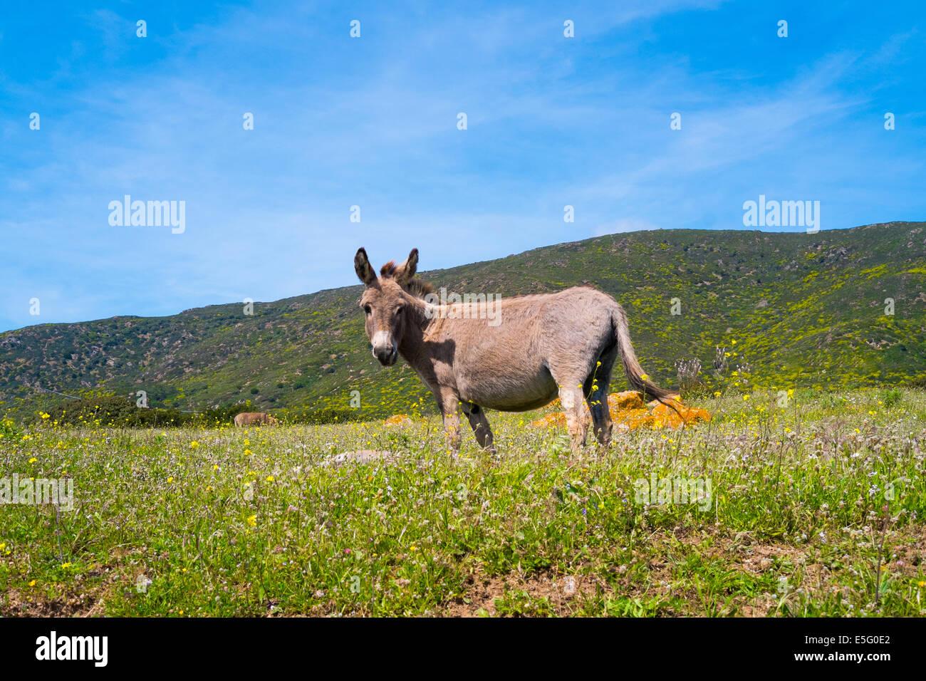 Reifer italienischer Esel