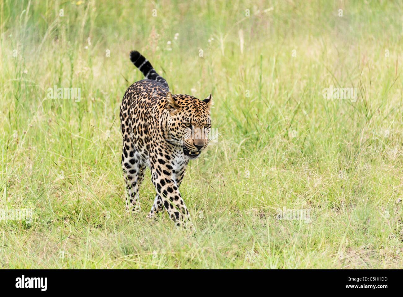 Gepard (Acinonyx Jubatus), Nambiti Reserve, Kwa-Zulu Natal, Südafrika Stockbild