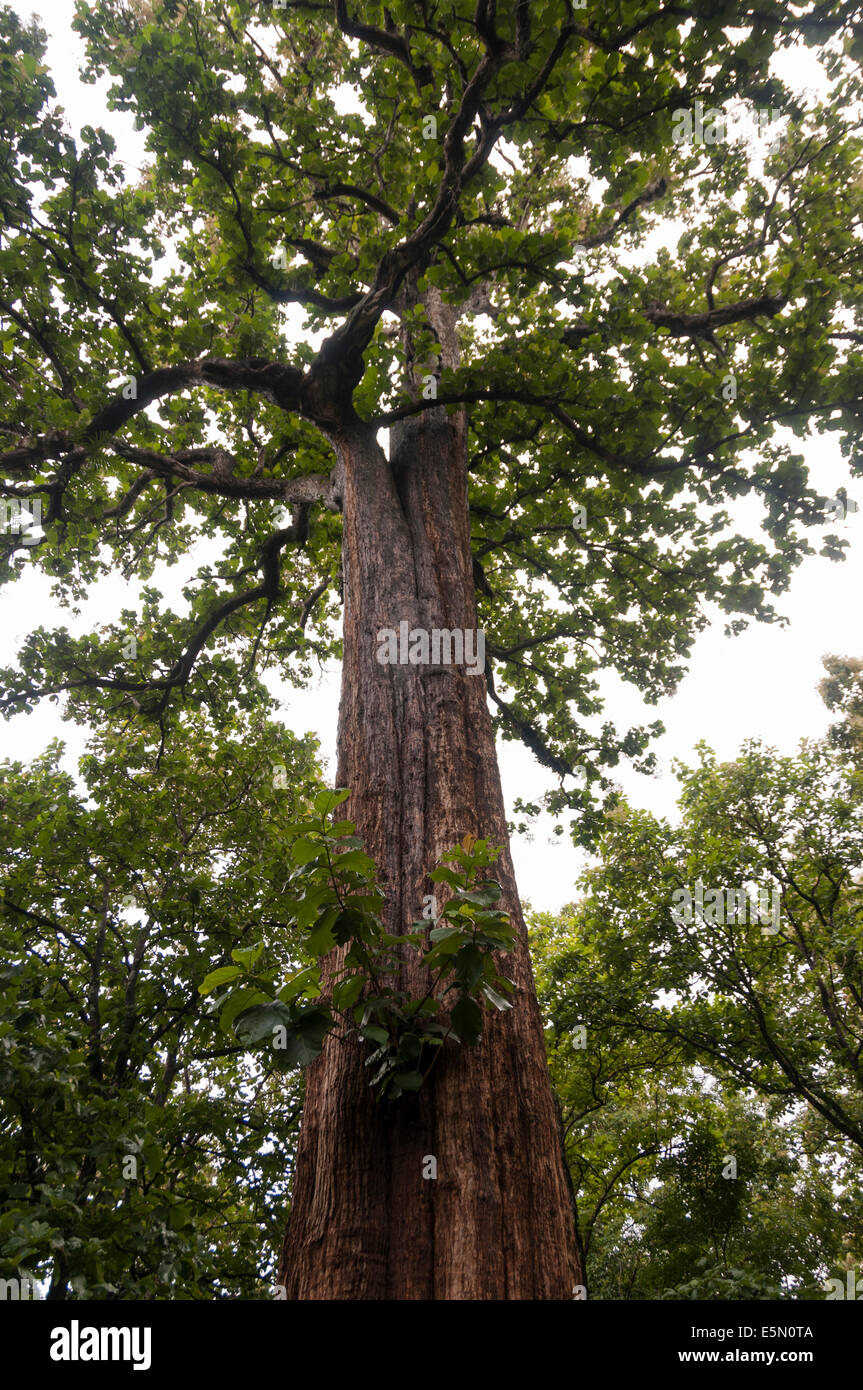 Teakbaum  Kannimara Teak, Asias größten lebenden Teak-Baum gefunden in ...