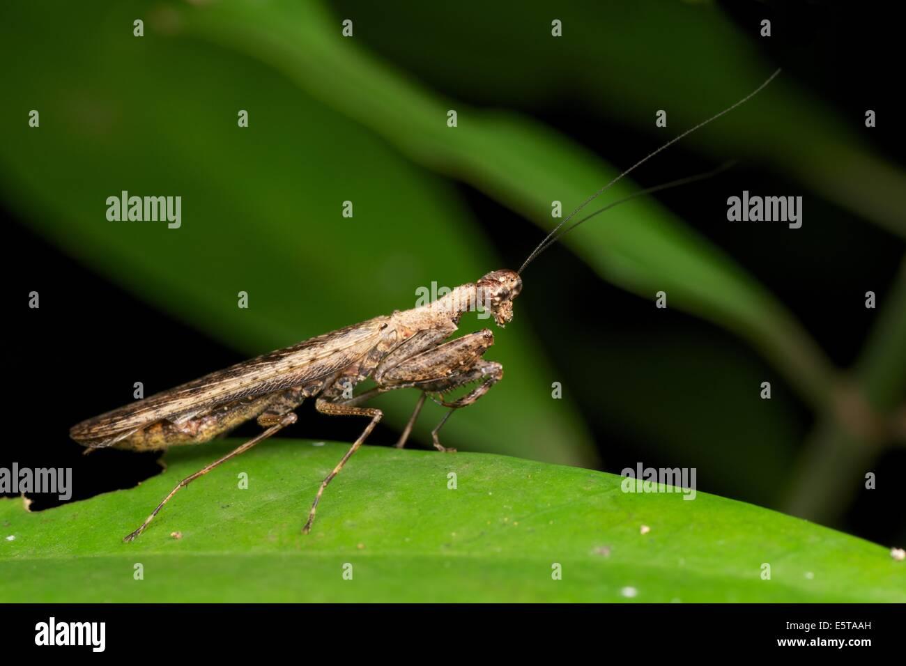 Humbertiella SP. Mantis, AKA Rinde Mantis in Pang Sida Nationalpark, Thailand. Stockfoto