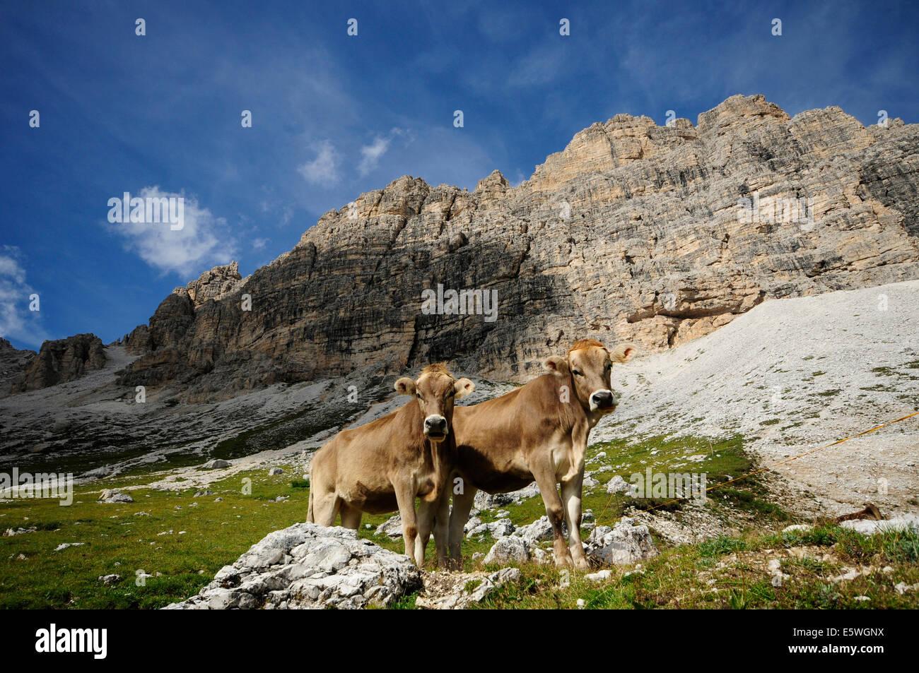 Kostenlose Tiere In Den Dolomiten Stockfoto Bild 72476710 Alamy