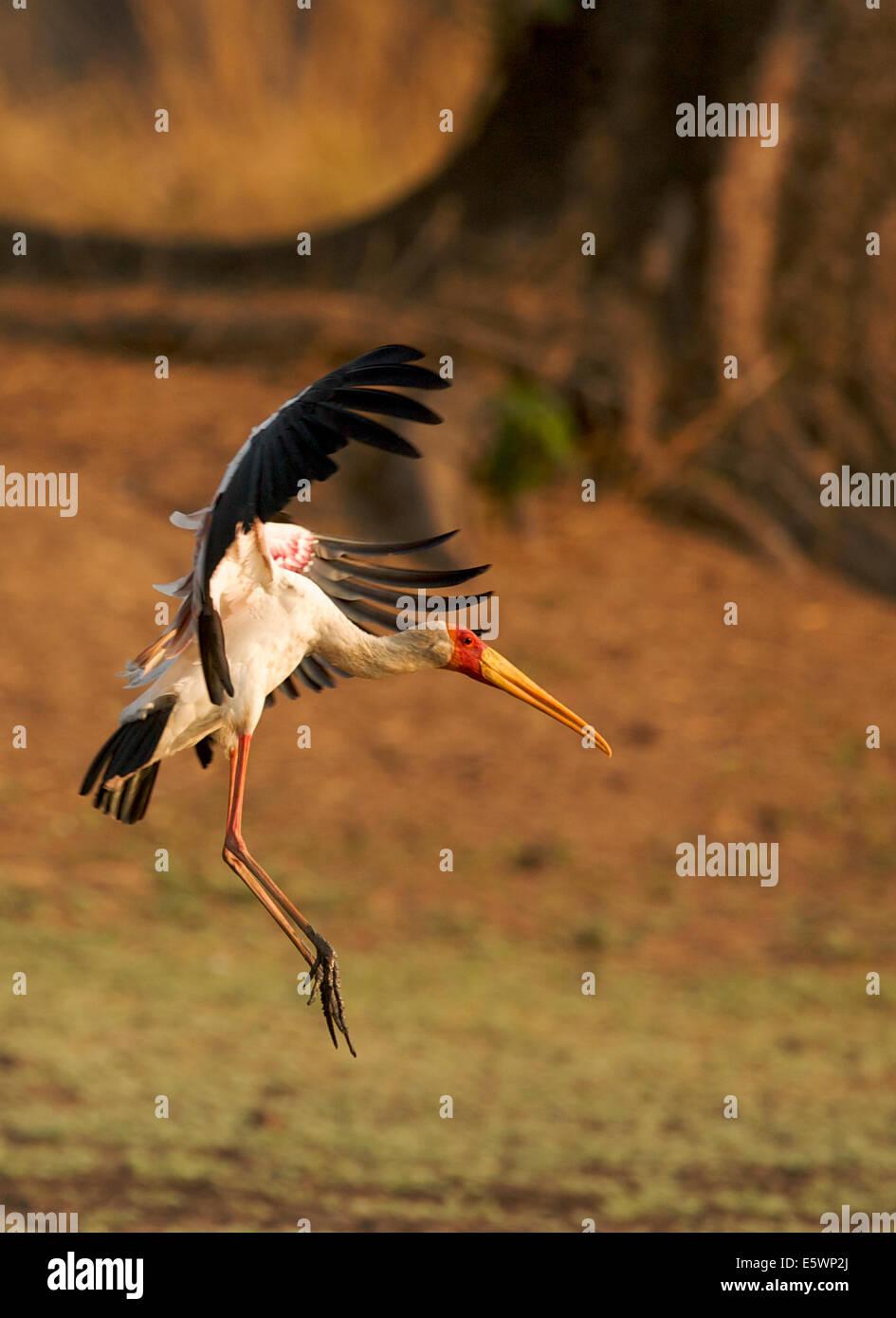 Gelb-billed Storch Landung auf Rasen, Mana Pools, Simbabwe Stockbild