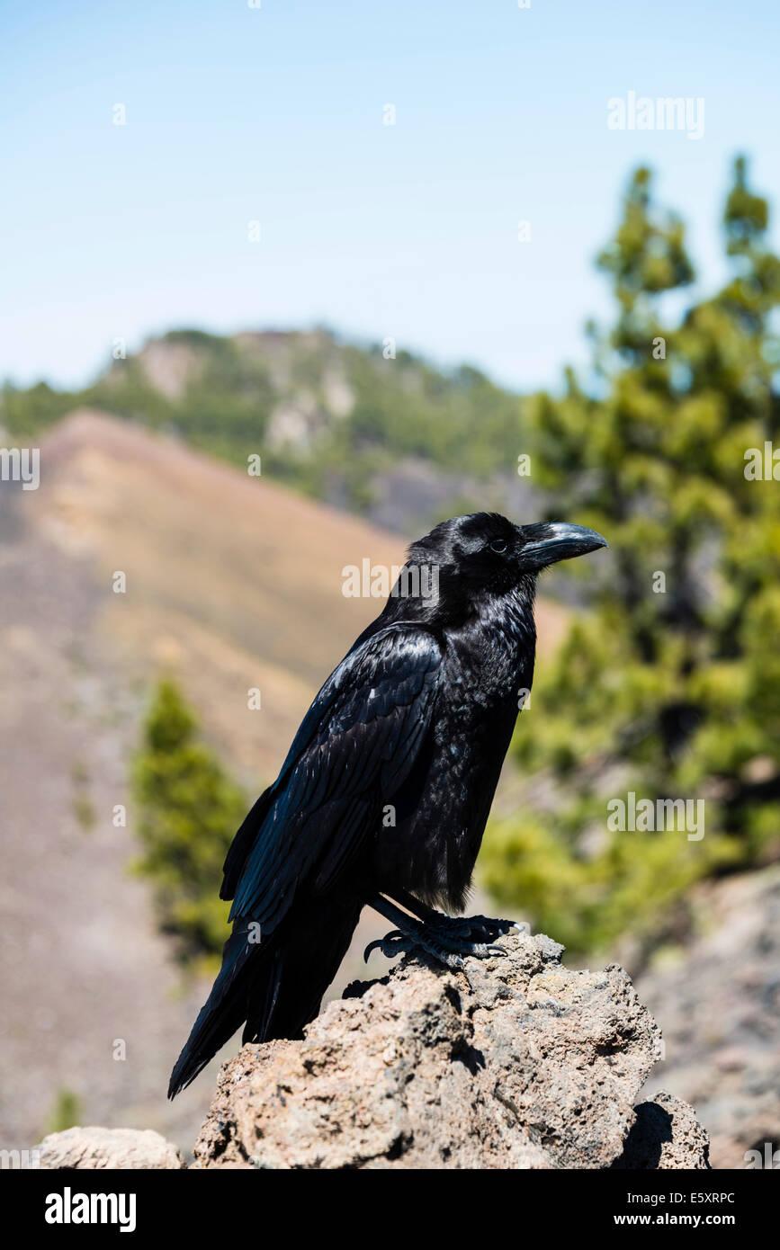 Rabe (Corvus), La Palma, Kanarische Inseln, Spanien Stockbild