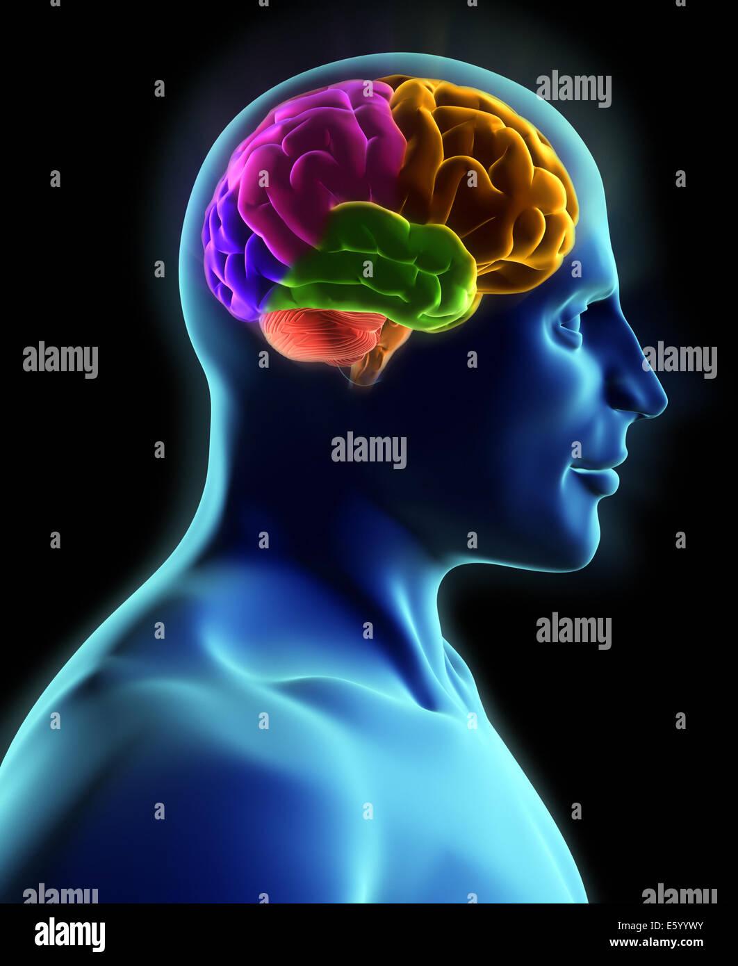 Menschlichen Körper und Gehirn, Röntgen-Blick - 3d render Stockfoto ...