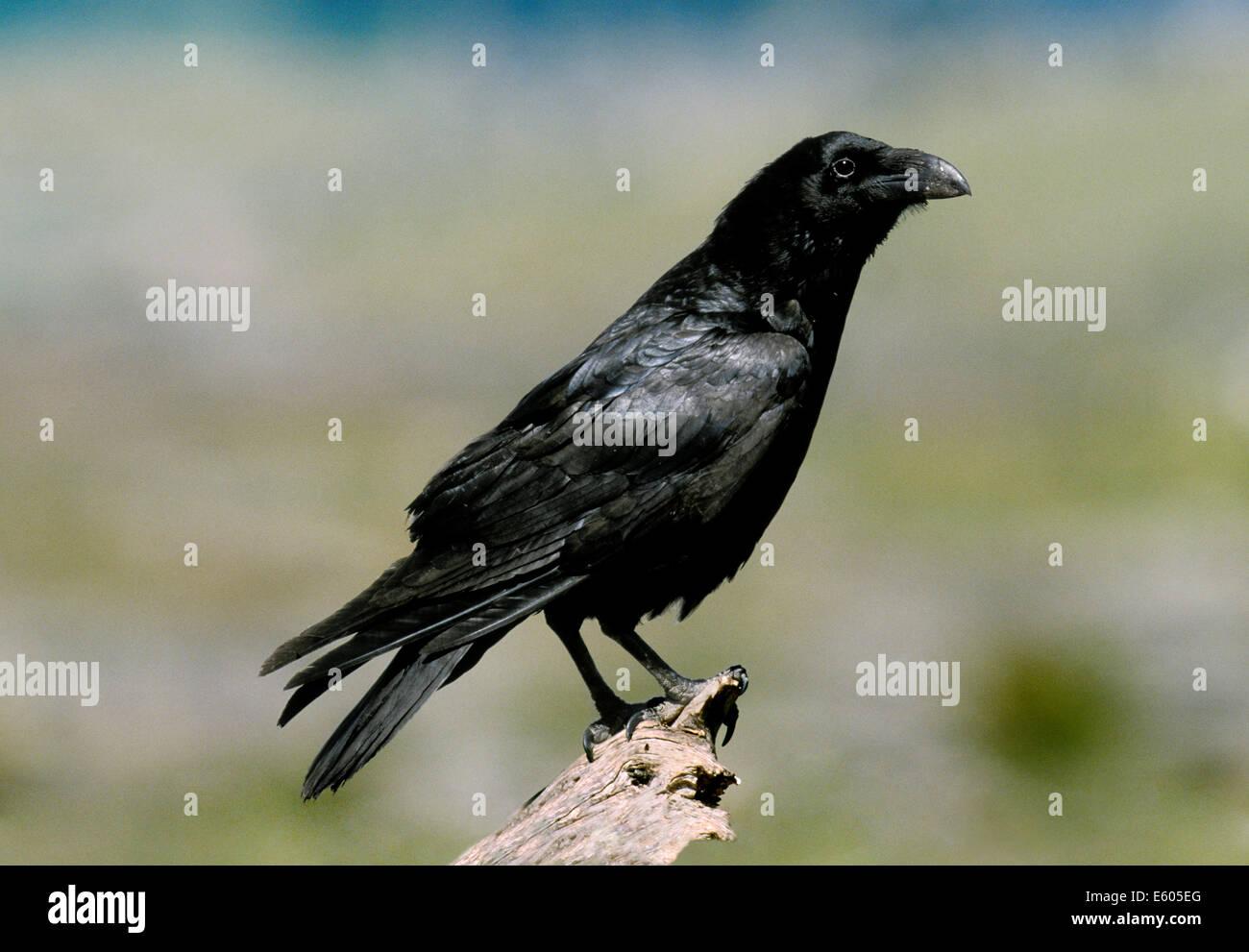 Raven-Corvus corax Stockbild