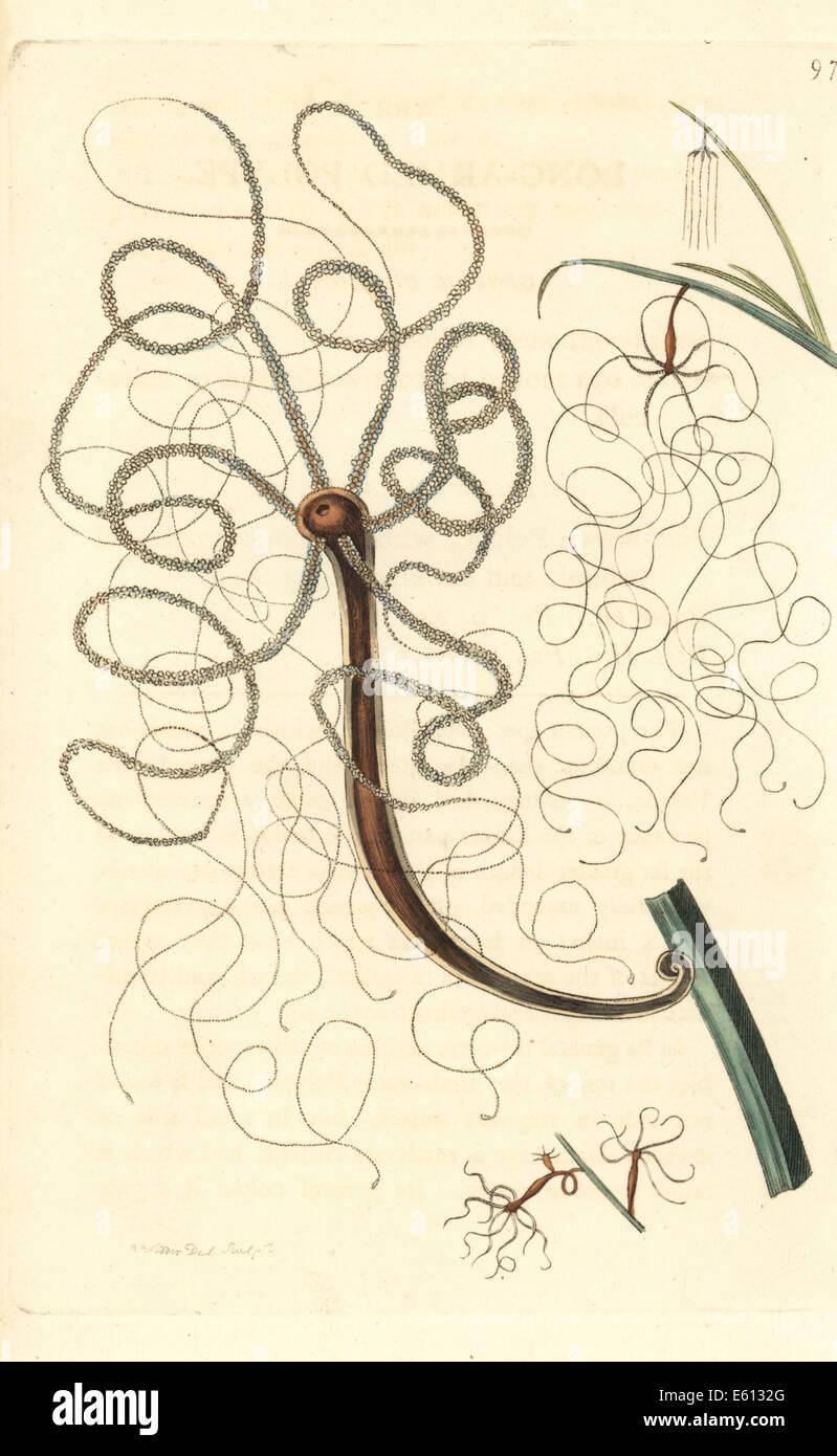 Langarmige Polype Hydra Longimana. Stockbild