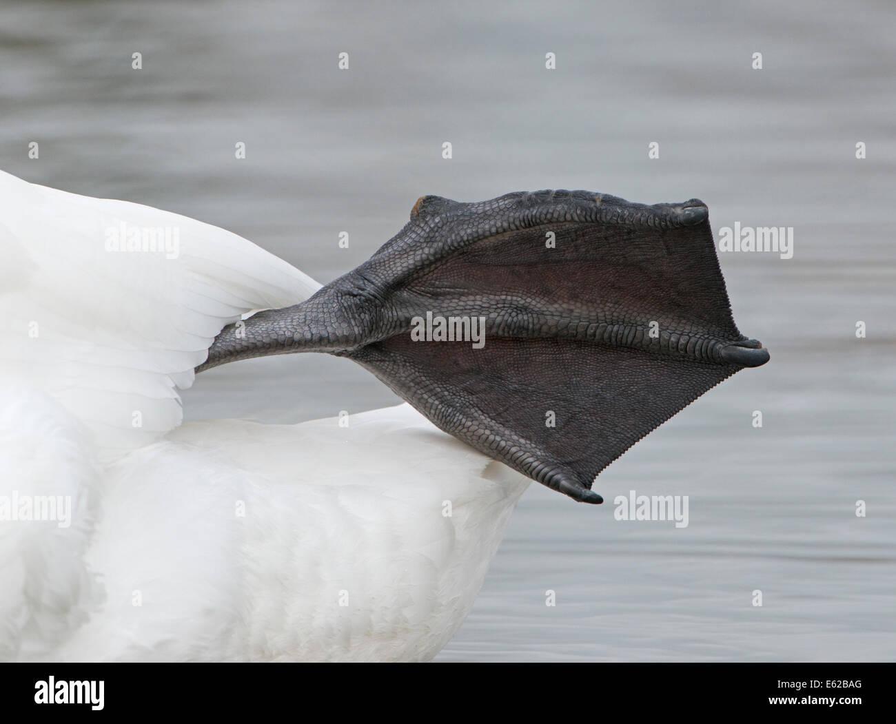 Höckerschwan Cygnus Olor mit Schwimmhäuten Fuß Norfolk Stockbild