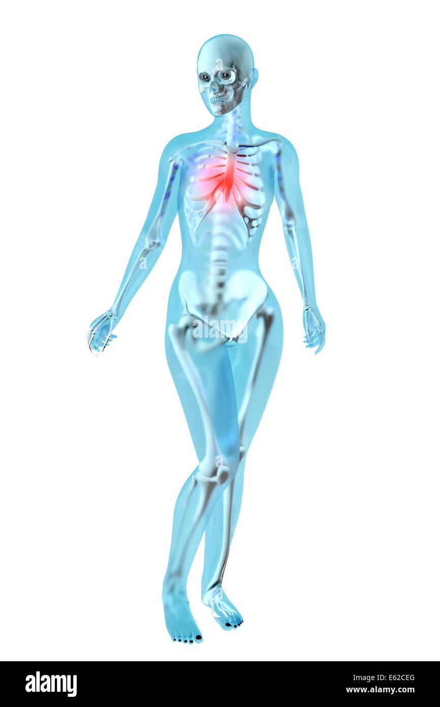 Ziemlich Weibliche Brust Anatomie Und Physiologie Zeitgenössisch ...