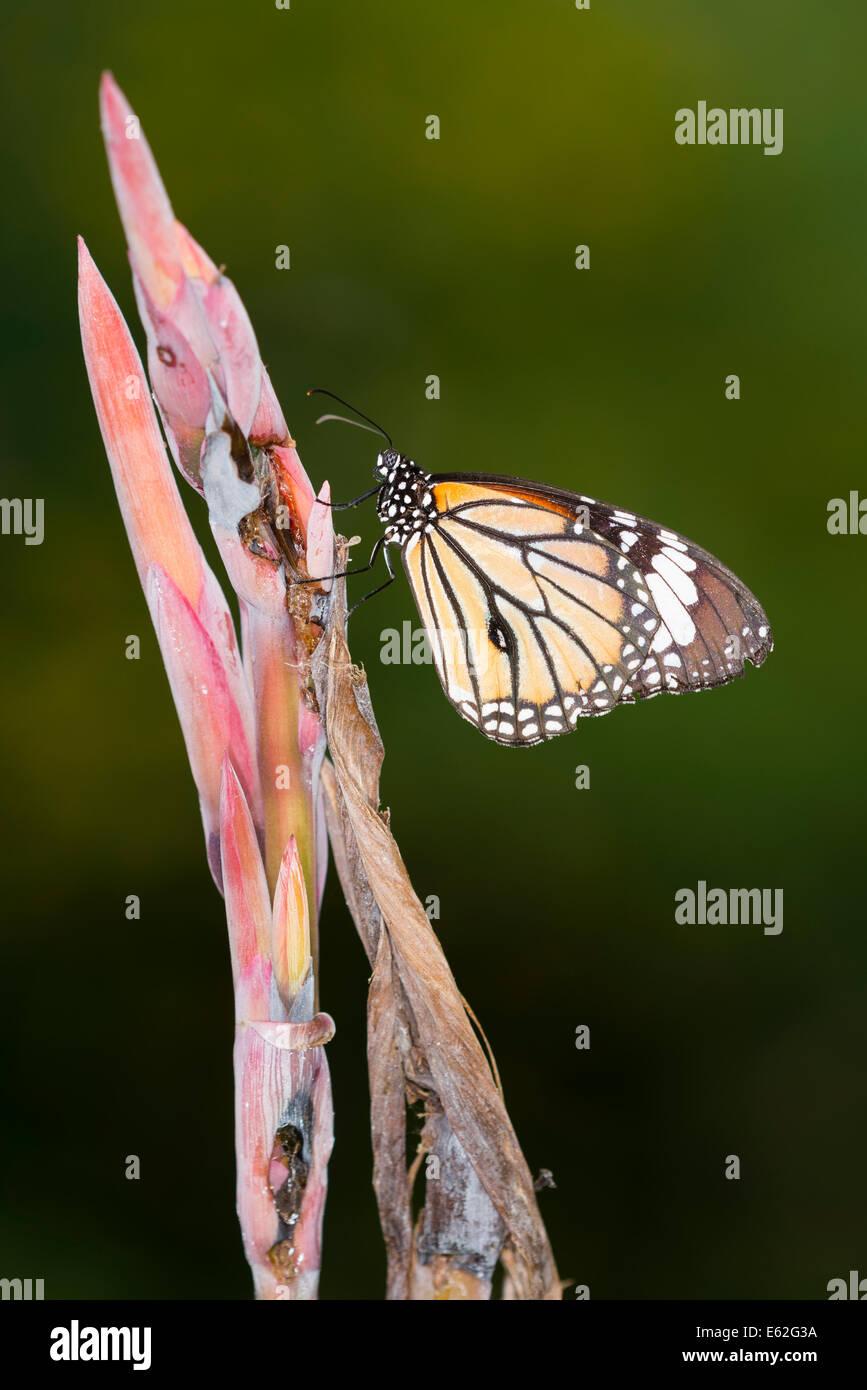 Ein Monarchfalter in Ruhe Stockbild
