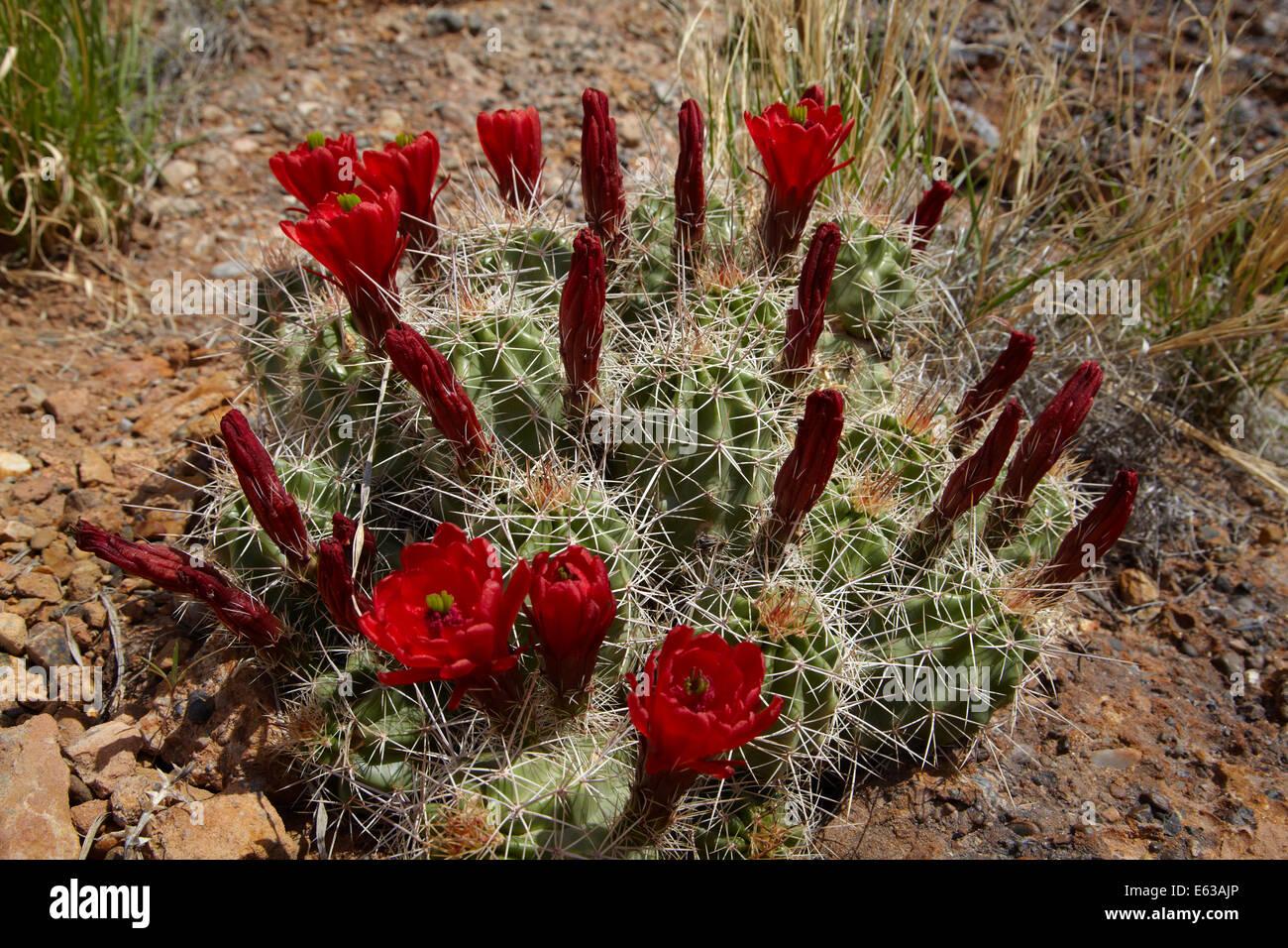 Claret cup kaktus blumen echinocereus triglochidiatus for Wildparks in der nahe