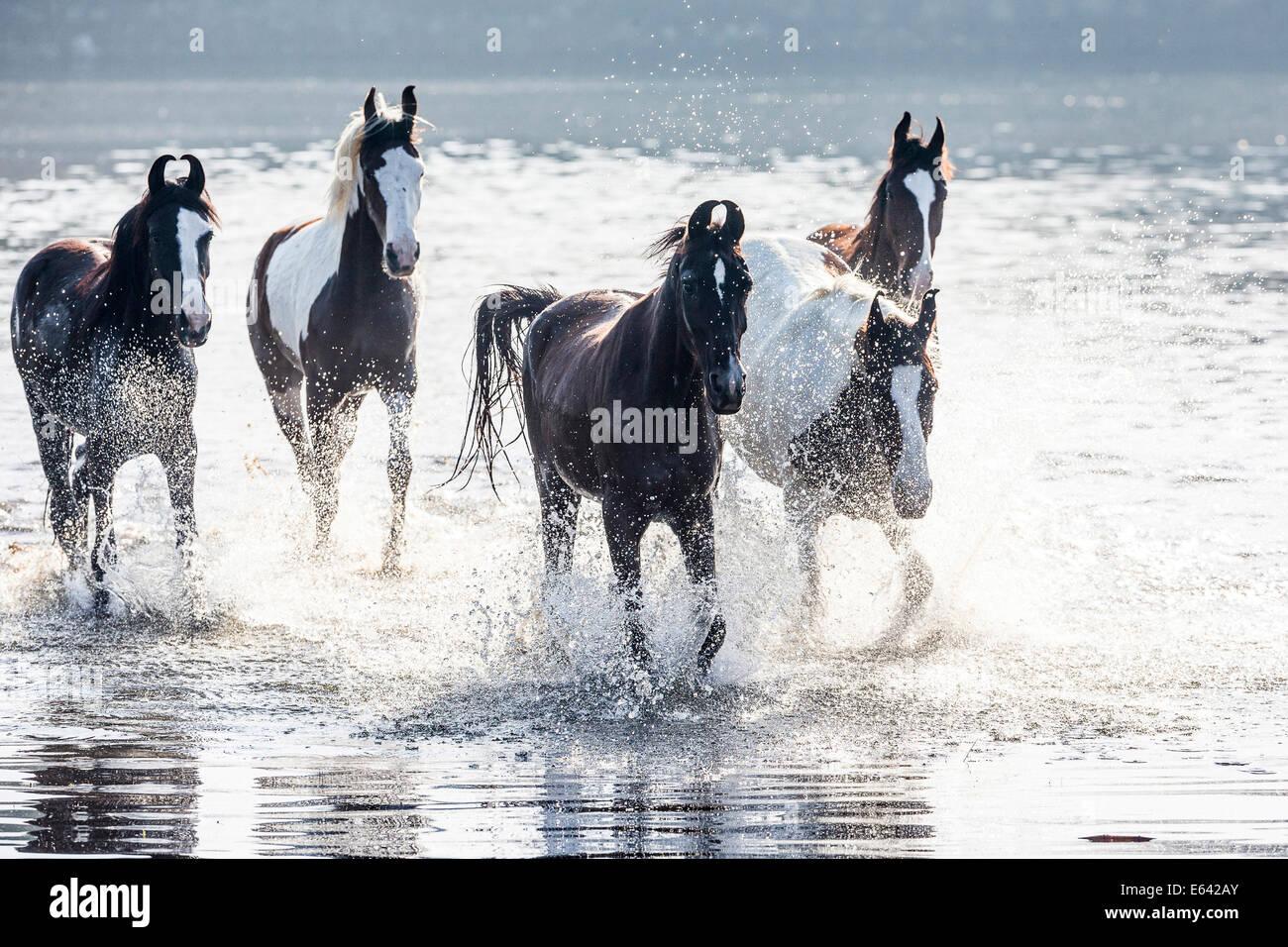 Marwari Pferde. Herde von Stuten Trab in Wasser. Indien Stockbild